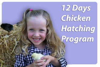 12 Days Chicken Hatching programs